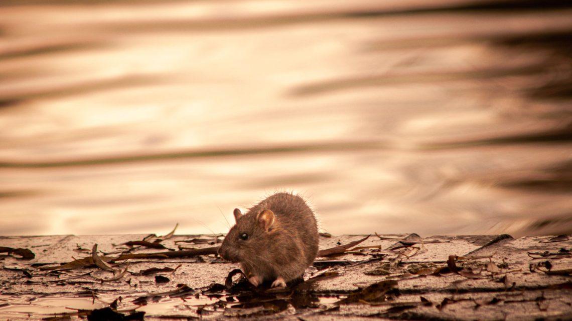 Comment éliminer les rats de votre poulailler sans les tuer ?